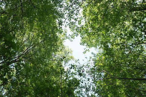 참나무와 졸 참나무
