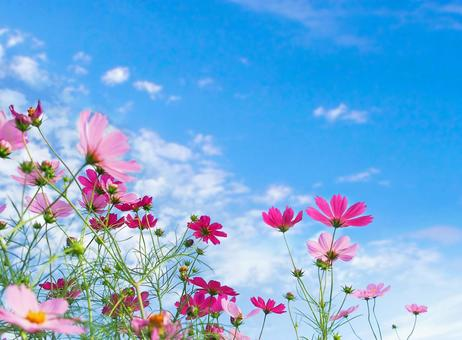 Autumn blue sky and cosmos field