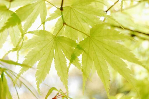 Blue maple fresh green leaf vein through sunlight