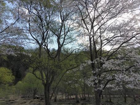 산 벚나무와 아오바 4 월