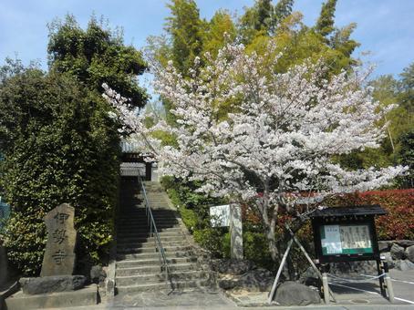 伊勢神廟入口處的櫻花(高月市)