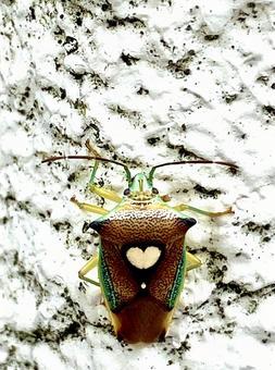 Esakimon stink bug