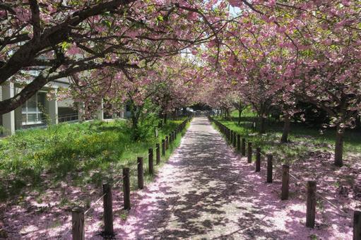 Hokkaido University cherry blossom viewing 2