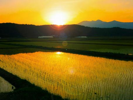 A paddy field in the evening