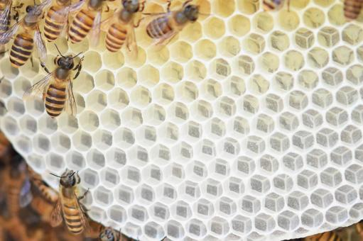 Honeycomb Bee Honey Bee