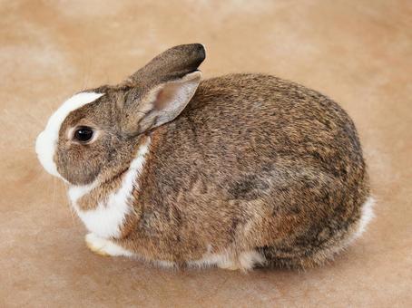 가로 토끼