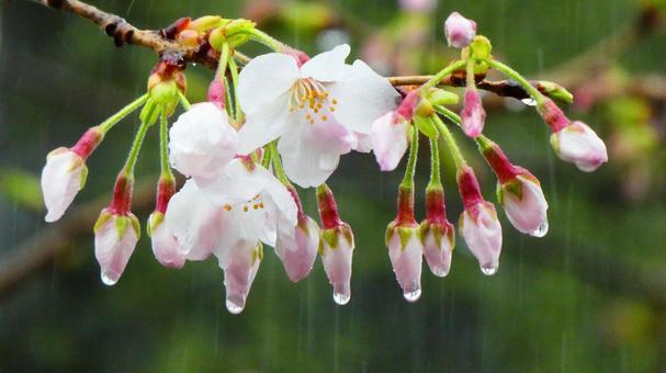 Sakura on a rainy day