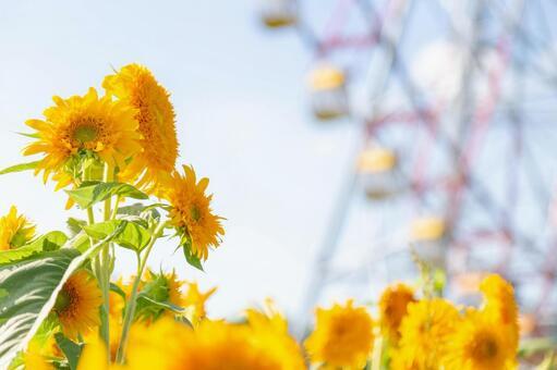 Sunflower and ferris wheel
