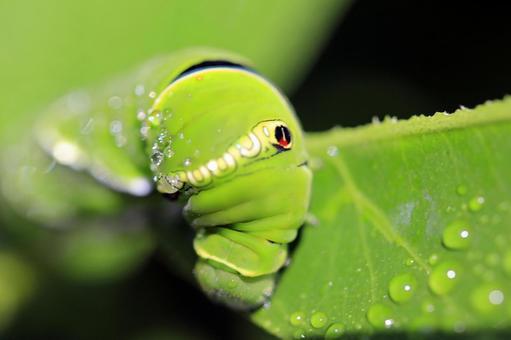 Swallowtail caterpillar parasitizing vegetables