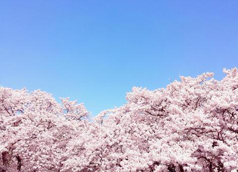 Background of cherry blossoms in full bloom 0514
