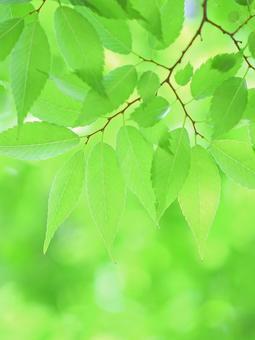 Fresh green leaves, Zelkova zelkova