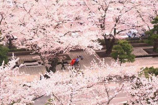 Cherry blossoms and rickshaw