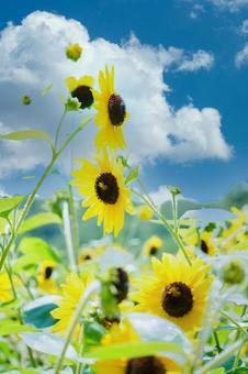 Blue sky and sunflowers