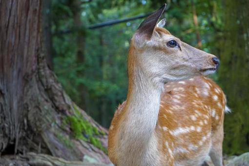 Sika deer in Nara Park