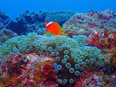 Undersea between Senju Sea Anemone and Clownfish / Kerama / Okinawa