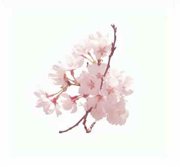 Cherry blossoms with clipping pass for chrysanthemum 1