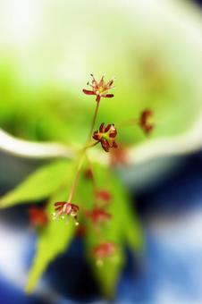Close-up of small red male and female maples blooming in spring