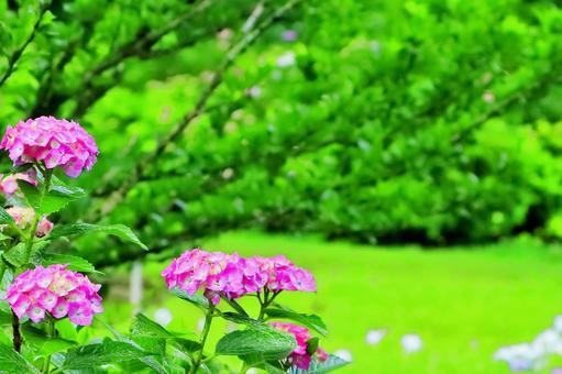 비에 젖 수국 꽃