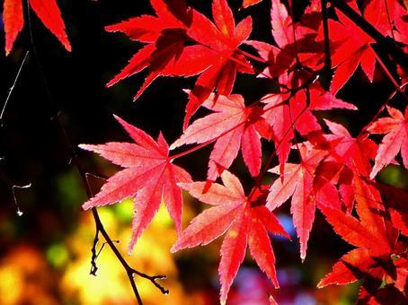 Colored maple