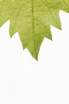 양배추의 잎 끝 (한장 잎 끝) 3