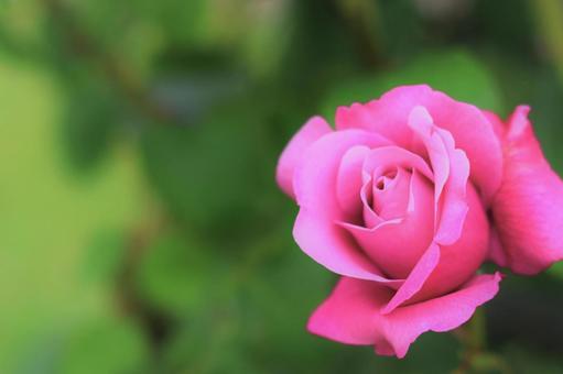 令人震驚的粉紅色玫瑰花粉紅色綠色紋理背景圖像牆紙複製空間