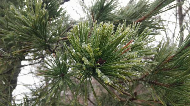 Pine freezes