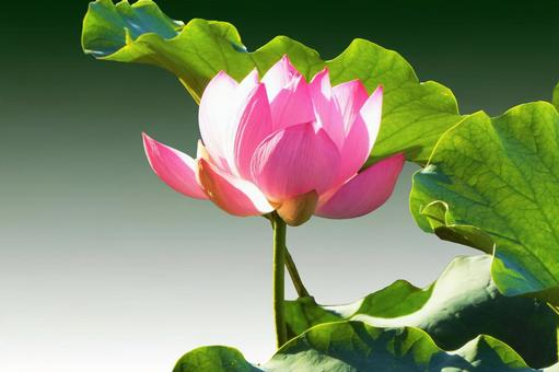 Lotus flower background / frame