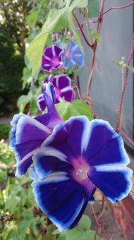 Morning glory purple variegation