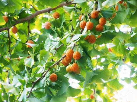 Ginkgo tree with ginnan fruit