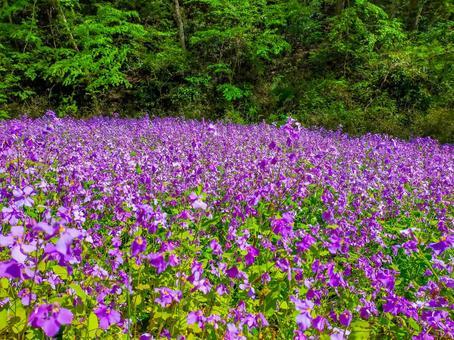 하나 다이 콘의 꽃밭