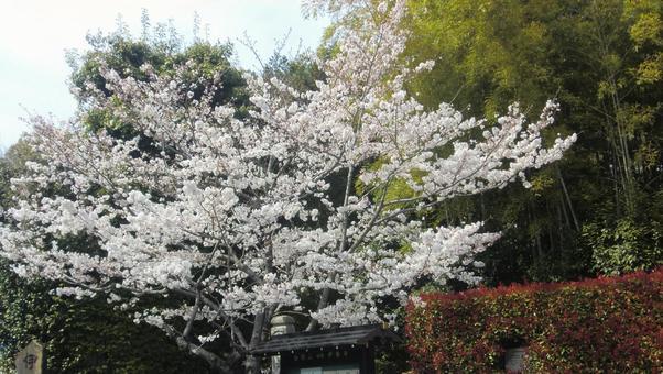 伊勢寺(高月市)的櫻花和竹叢