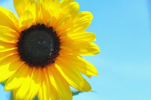Sunflower flower up