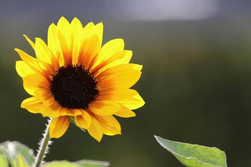 Sunflowers blooming in the sun 2