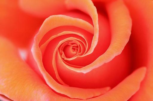 橙色玫瑰花背景紋理女性形象