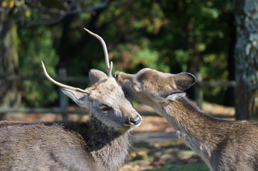 와카 쿠사 사슴 두 마리