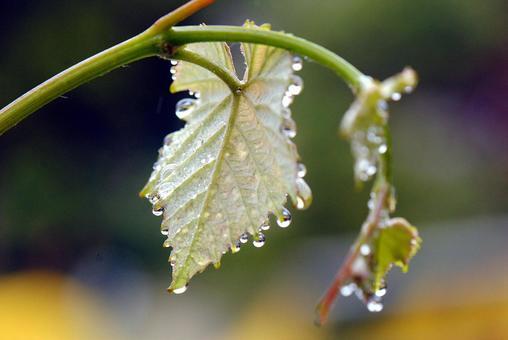 포도의 새잎에 비