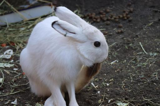 Lepus timidus wrapped in pure white hair