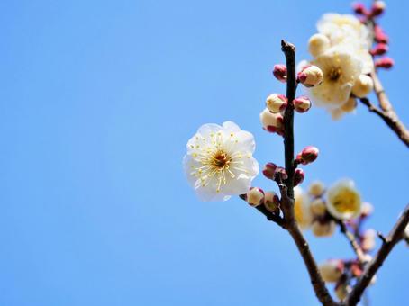매화의 꽃 20 화이트