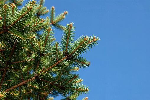 푸른 하늘과 침엽수의 잎