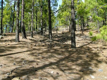 [외국] 침엽수 솔방울 산 산림 카나리아 제도 하이킹 하늘 자연 식물 풍경 경치