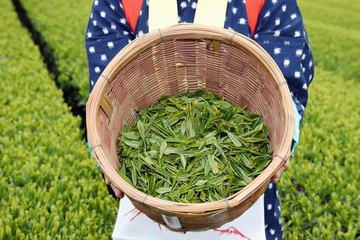 Tea field Tea picking