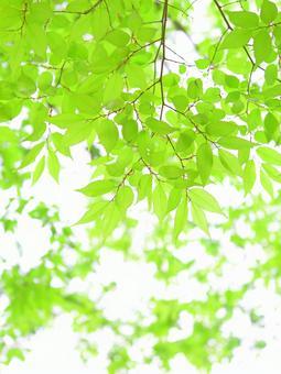 新緑の葉っぱ ケヤキ 欅