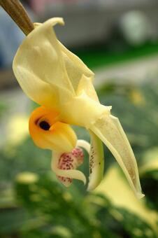 Yang Lan Stanhopair · Embray Cream Flower