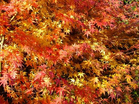 Autumn leaves gradation