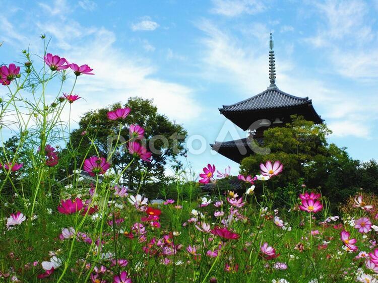 法起寺とコスモス2の写真