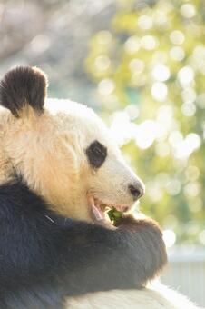 Giant Panda of Profile 14
