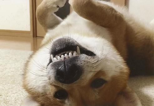 Shiba Inu facing fangs