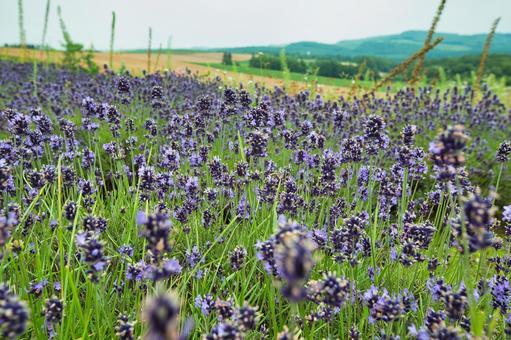 Hokkaido, Lavender and Biei Hill
