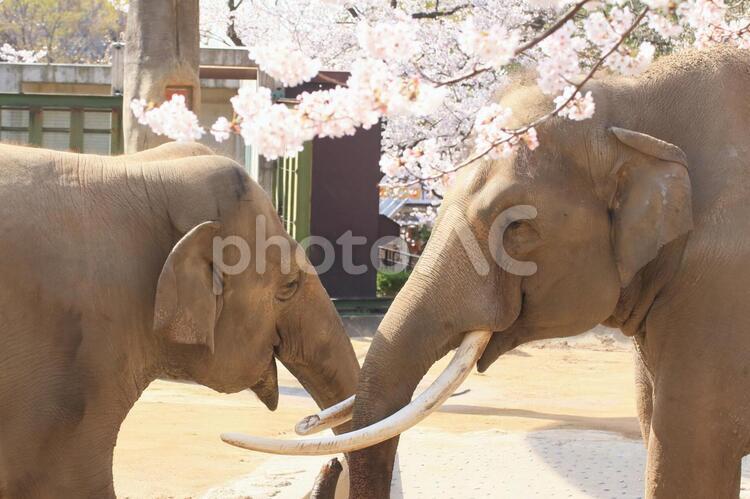 桜と像5の写真