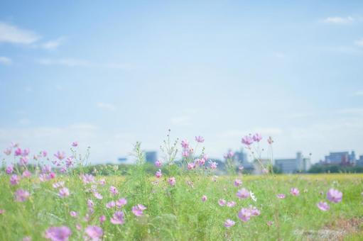 코스모스 밭 4